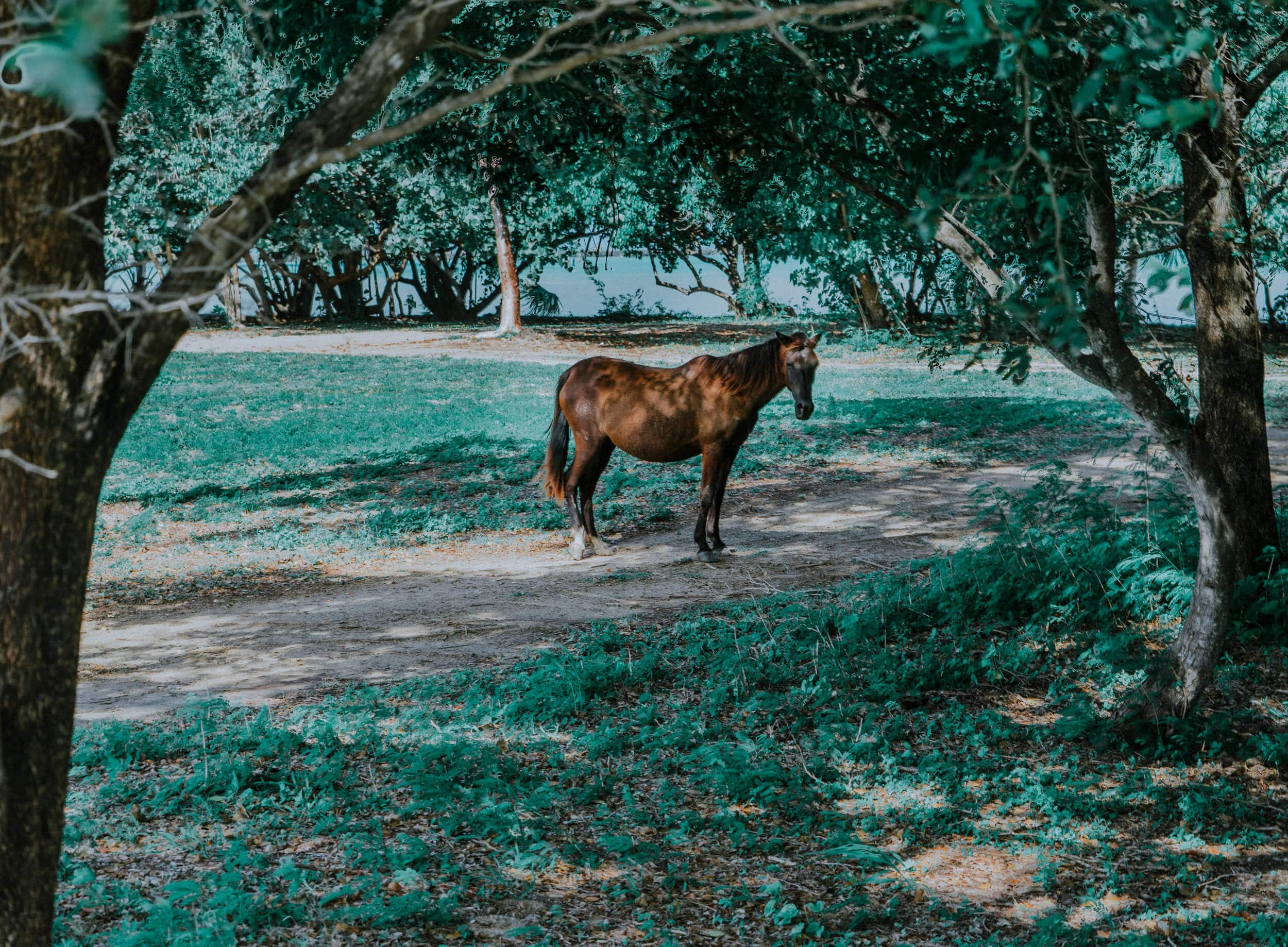 Photograph of a wild horse in Vieques, Puerto Rico.