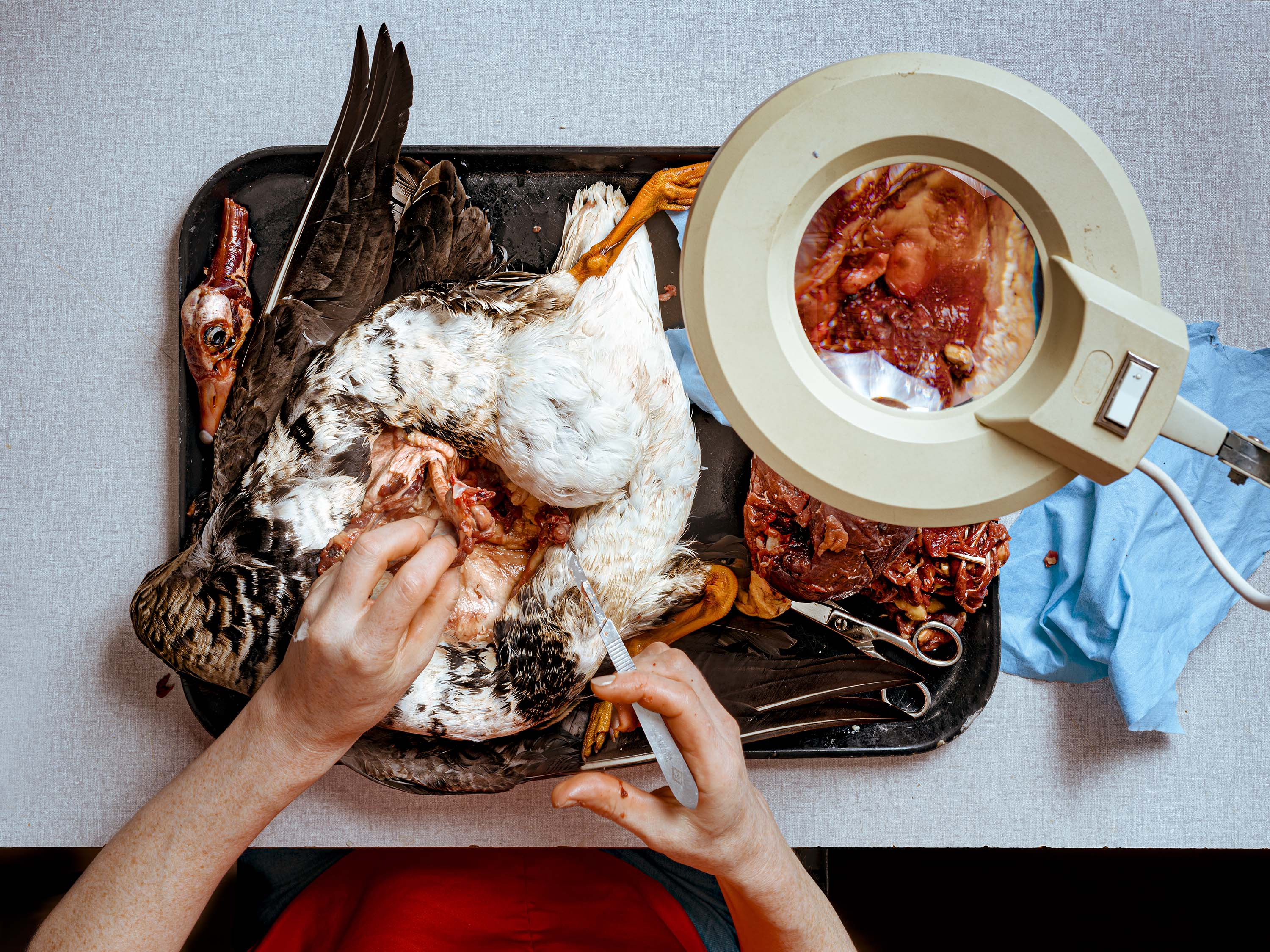 Taxidermist skinning a goose